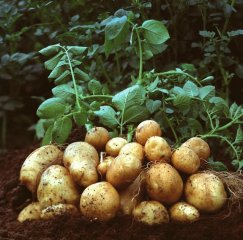 美国批准转基因土豆 或将进入麦当劳
