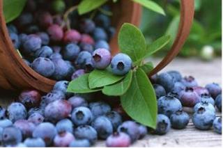 阿尔茨海默症老人食用蓝莓可改善认知功能