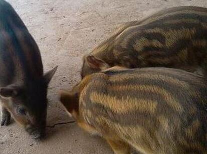 """千年一遇!母猪产下一窝罕见""""蛇皮猪"""""""