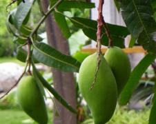揭秘感冒能吃芒果吗