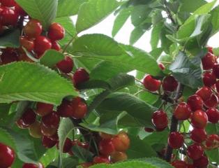 儿童多吃樱桃对身体有害