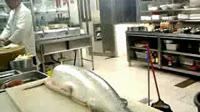 挪威三文鱼宰杀过程