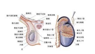 鞘膜积液百科