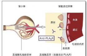 百姓导医台 化验检查 血清磷脂酶a2  磷脂酶a2(pla2)根据依赖ca2+的