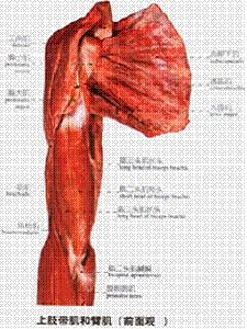 胸大肌代肱二头肌术