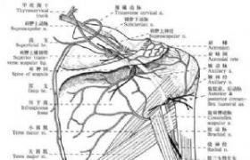 吻合血管的带蒂皮肤移植术