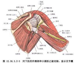 背阔肌和大圆肌移位术