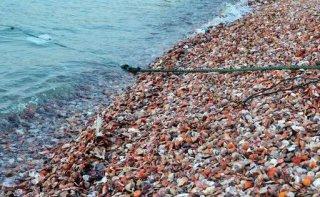 """七彩贝壳堆满沙滩 市民笑称""""就差蒜蓉粉丝了"""""""