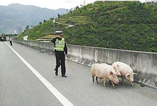 二师兄越狱了!二师兄高速路上撒欢乱跑 民警紧急围堵