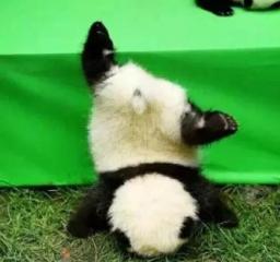 网红大熊猫又搞事了  和滚滚们一起集体拜年