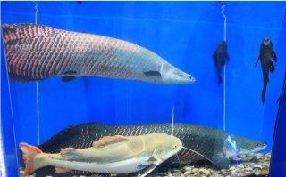 骨头比肉多,营养价值不高的清道夫鱼能吃吗?