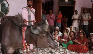 印度神牛脸长棒子 当地妇女争先恐后要嫁给它