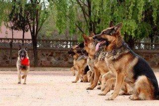 网友偶遇警犬出动,里面竟然有哈士奇!