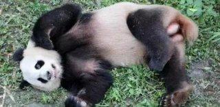 柏林动物园终于盼来滚滚 德国人沸腾:中国爱我们啦!