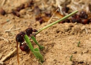 这里的人吃蚂蚁臀部上瘾 常常供不应求比国人爱撸串还厉害