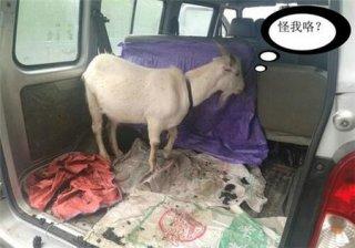 """""""入味""""太深了!小车上放了一只山羊 3名随车男子被熏晕"""