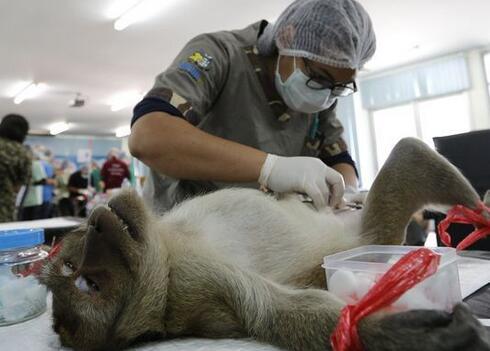 """真惨!泰国猴子阉割变""""妖猴"""",被强制绝育以防扰民!"""