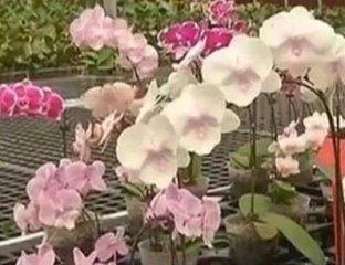 价值2000万的母株蝴蝶花,女子买花发现与众不同直接换走