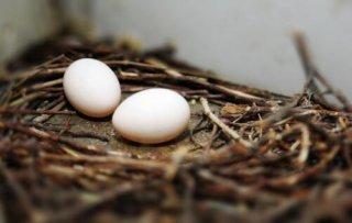 鸽子蛋和鹌鹑蛋的区别,该怎么区分