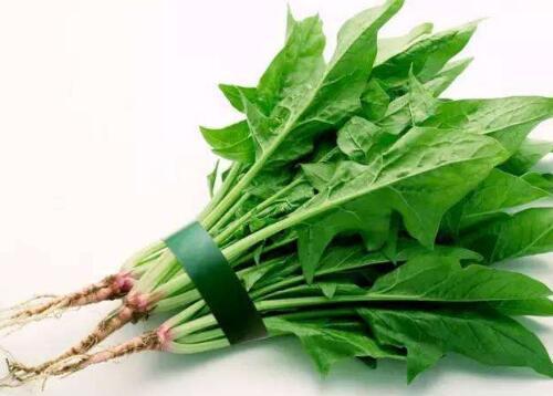 如何挑选菠菜,哪种才是新鲜的菠菜?