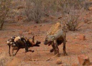 野狗为报仇直接找鬣狗掏肛