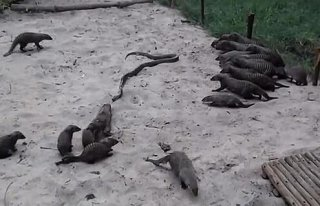 大蟒蛇单挑一群狐獴被撕成碎片