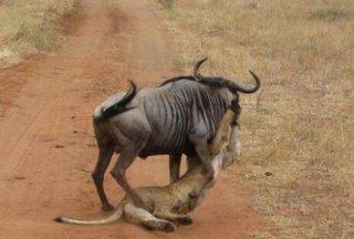母狮子居然亲吻角马真相竟是…