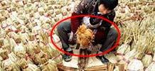 杀鸡不拔毛塞进稻草竟卖出天价