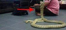 家里突然闯入眼镜蛇男子被吓尿