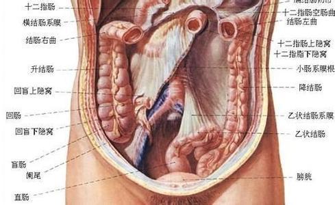 腹部在哪个位置图解
