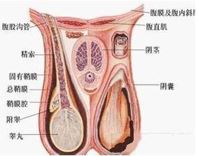 睾丸癌中晚期能活多长时间?