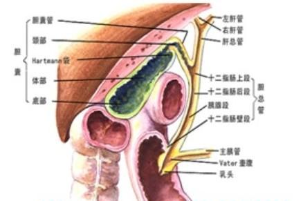 胆囊癌是怎么形成的相关介绍