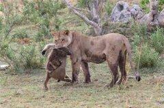母狮捕杀带崽母狒,原以为会都吃掉,结果让所有人惊呆
