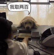 大金毛拿着卡去银行取钱还很熟练,网友:现在的狗狗都成精...