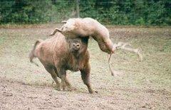 发情公鹿挑衅一吨重野牛,结果像蚂蚁一样被顶飞,重伤而亡