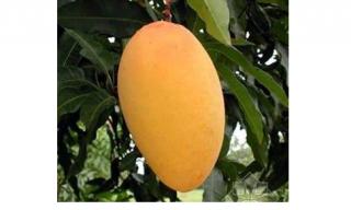 揭秘芒果是乳腺癌的克星