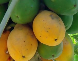 吃木瓜真的可以幫助消化嗎