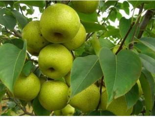 减肥期可以吃酸梨吗