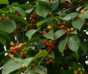 高血压能吃樱桃吗
