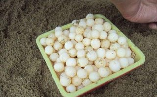 甲鱼蛋孕妇能吃吗