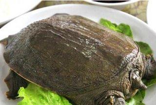 甲鱼能治疗慢性肾炎吗