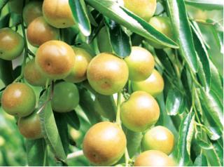 介绍减肥期间能吃冬枣吗
