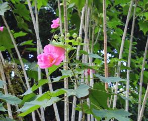 芙蓉花的作用有什么