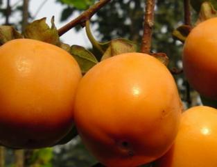 介绍皮肤过敏能吃柿子吗
