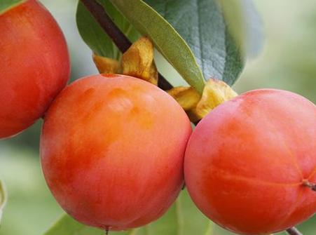 吃柿子的作用  健脾化痰生津止渴