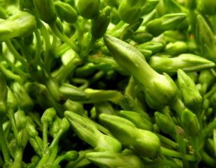 香花菜的功效与作用