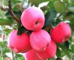 介绍高血压能吃苹果吗