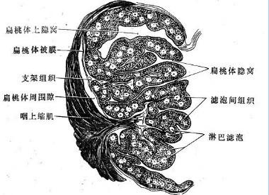 扁桃体炎百科