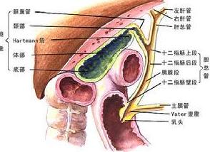 肝胆湿热百科