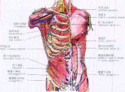肋间神经痛百科